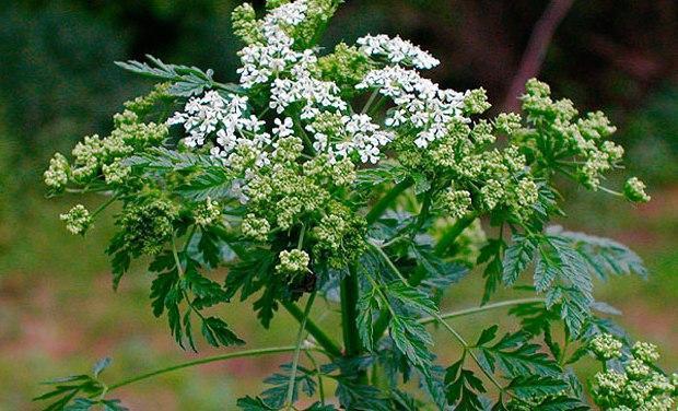 Опасные растения Крыма: боллиголов