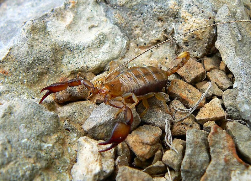 Опасные насекомые Крыма: крымский скорпион