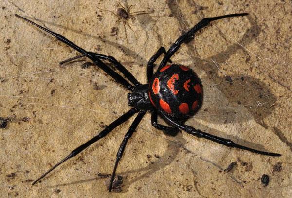 Опасные насекомые Крыма: паук Каракут